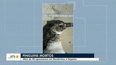 Mais de 40 pinguins são encontrados mortos em Bombinhas e Itapema - Mais de 40 pinguins são encontrados mortos em Bombinhas e Itapema