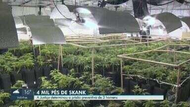 Justiça determina prisão de suspeitos na plantação de 'supermaconha' em Salto - Barracão onde acontecia a produção da droga foi encontrado após dois meses de investigação da Polícia Civil de Campinas (SP).