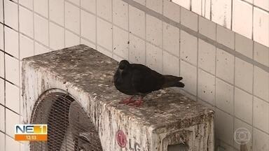 Advogado explica de quem é a responsabilidade de evitar pombos em condomínio - Animais podem transmitir doenças e Vigilância Sanitária do Recife traz orientações sobre esse tema.