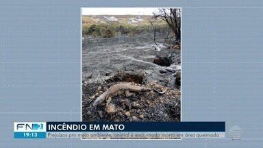 Lagarto é morto por incêndio em Presidente Prudente - Área atingida pelo fogo fica no Residencial São Paulo.