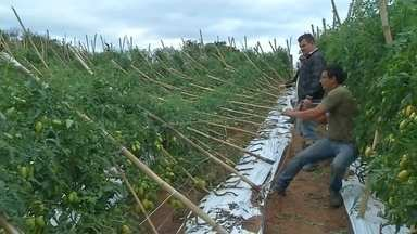 Produtores rurais de Itapetininga são prejudicados com temporal - Quase 700 pés de tomate de uma produção de Itapetininga (SP) foram derrubados pela intensidade das chuvas e ventos dos últimos dias.