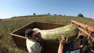 Agricultor se destaca com produção de abóboras gigantes em Itapetininga - Um agricultor tem se destacado com a produção de abóboras gigantes. O peso médio da abóbora canhão é de 25 quilos, mas os frutos colhidos na propriedade de Itapetininga (SP) chegam a pesar mais de 50 quilos.