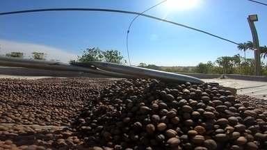 Produtores de café de Garça querem registro de identificação geográfica - O produtor Cassiano Tosta é de uma família que cultiva café desde a década de 1970. Em busca de uma maior rentabilidade, a saída encontrada foi investir em cafés especiais.