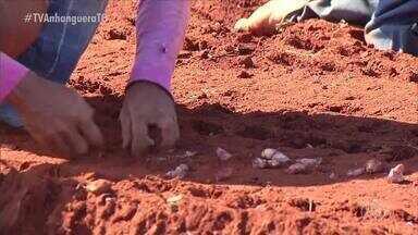 Chuva atrapalha desenvolvimento do alho e produtores estimam prejuízos em Goiás - Chuva atrapalha desenvolvimento do alho e produtores estimam prejuízos em Goiás