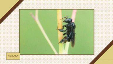 Telespectador tem dúvidas sobre frutas e verduras atacadas por abelhas arapuá - Especialista responde sobre questionamento.