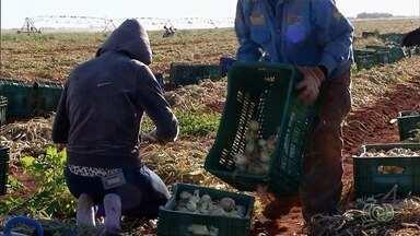 Chuva prejudica produção de alho e cebola em Cristalina - Produtores prevê perda de 20% na colheita.