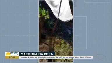 Plantação com cerca de 500 pés de maconha é descoberta em Alfredo Chaves, ES - Ação aconteceu nesta terça-feira (10) e terminou com um suspeito preso no local. Polícia continua investigando.