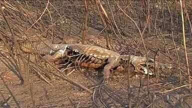 Aumento de queimadas atinge animais do Pantanal - São muitos os flagrantes de animais em meio à destruição ou fugindo do fogo. Governo do Mato Grosso do Sul decreta emergência por causa dos focos de incêndio.