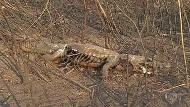 Fogo está matando animais do Pantanal - Em Corumbá, maior município da região, o número de focos de queimadas aumentou mais de 600% em relação ao ano passado.