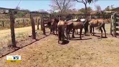Operação da PRF recolhe animais na BR-230 no Maranhão - Polícia Rodoviária Federal (PRF) fez uma operação para recolher animais que ficam soltos na rodovia que corta o estado.