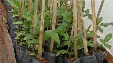 No sul de MS, produtores se organizam para cultivar o maracujá agroecológico - No sul de MS, produtores se organizam para cultivar o maracujá agroecológico