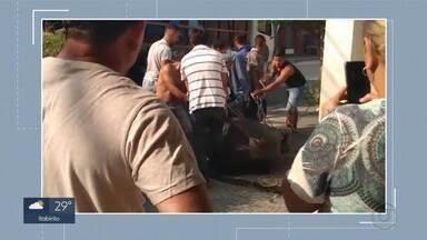 Búfalos fogem e assustam moradores no centro de Pedro Leopoldo, na Grande BH - De acordo com a PM, animais teriam fugido de um matadouro. População parou para acompanhar e registrar captura.