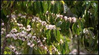 Linhares está entre as três cidades com maior produção de café do Brasil - As outras duas cidades mineiras são Patrocínio e Três Pontas, que são fortes na produção do café arábica. A pesquisa é do IBGE.