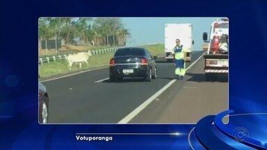 Bezerro solto quase provoca acidente em rodovia de Votuporanga - Um bezerro solto quase causou um acidente na Rodovia Euclides da Cunha, em Votuporanga (SP), na tarde desta segunda-feira (30). Um vídeo gravado por um passageiro registrou o animal andando pela pista.