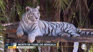 Zoológico dá mais detalhes sobre morte de tigre-de-bengala branco - Dandy morreu no último domingo (29), depois de apresentar problema renal. Dias antes, ele doou sangue para a irmã, a tigresa Maya, que tinha passado por algumas cirurgias.