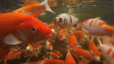 Para admirar e para negócios, criador aposta no mercado de carpas - Além de decorar ambientes, as carpas ornamentais ajudam na higiene mental. É o que dizem os apreciadores desses peixes. Observar o vai e vem é uma oportunidade para relaxar.