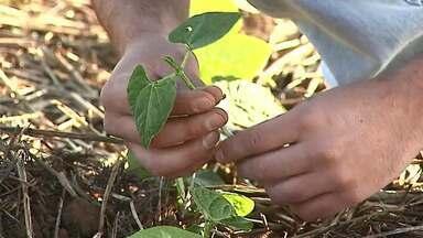 Área de feijão vai diminuir no Paraná - Durante o plantio, o clima está colaborando. Saiba qual a expectativa para o preço do grão.