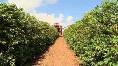 MG Rural detalha produção cafeeira de Minas Gerais, maior produtor do Brasil - Cultura está presente em 463 municípios mineiros.