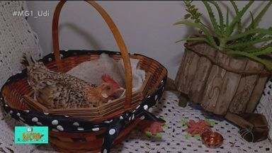 TV Bicho: galinhas e galos viram animais de estimação - Em Uberaba, moradores tratam das aves como se fossem membros da família. Veterinário Cláudio Yudi fala sobre os cuidados especiais com esses animais.