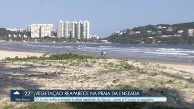Planta Jundu volta a crescer na Praia da Enseada, em Guarujá - Jundu é uma vegetação fixadora de duna, que combate processo erosivo costeiro e atrai diversas espécies de aves.