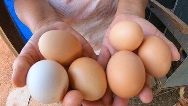 Pequenos proprietários rurais investem na produção de ovos caipiras - Ovo caipira é mais valorizado e representa importante fonte de renda.