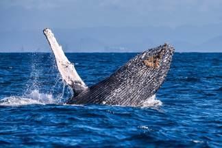 Visitantes especiais - Litoral brasileiro vira berçário de baleias-jubarte