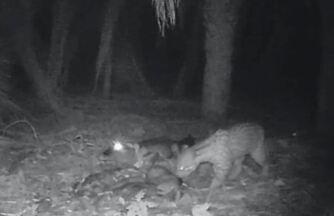 Câmeras instaladas na mata flagram jaguatirica e jacaré disputando carcaça - Na sequência de vídeos gravados por uma armadilha fotográfica instalada no Pantanal, dois grandes predadores lutam por uma carcaça de porco. Não à toa, esse é um dos registros de destaque no acervo de Rafael Albo.