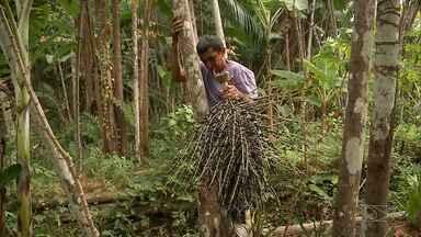 A cultura maranhense em torno da juçara - Falar desse fruto é como falar do povo do Maranhão, que faz da juçara parte de sua própria vida.
