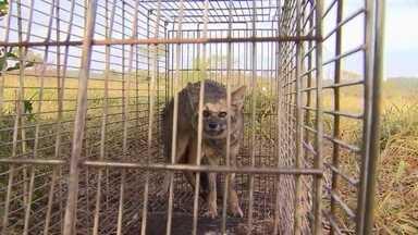Raposas são objeto de estudo no interior de Goiás - Cidade de Cumari tem pesquisadores de todo o Brasil para entender melhor a rotina desses e de outros canídeos.