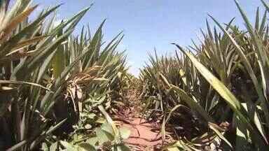 Produtores de abacaxi acumulam prejuízos por causa de geadas no Triângulo Mineiro - Três meses depois, reflexos aparecem nas plantações. Quem conseguiu proteger os frutos comemora resultados melhores.