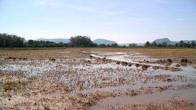 Excesso de chuvas provoca prejuízos em lavouras de arroz do RS - Rios transbordaram e encharcaram plantações.