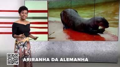 G1 no BDDF: Zoológico de Brasília recebe ariranha da Alemanha - Outros destaques: Bombeiros do DF vão ajudar a combater incêndios no Pantanal de MS . Idoso de 66 anos leva tapa na cara durante assalto em Águas Claras.