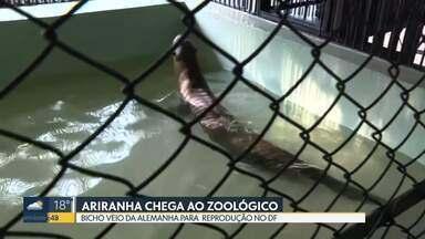 Tem animal novo no Zoológico de Brasília: ariranha veio da Alemanha - O Macau veio para Brasília para cruzar com a Si. Espécie é ameaçada de extinção.