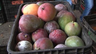 Técnica de combate à mosca das frutas ajuda produtores em Juazeiro - Conheça este método simples que pode combater um enorme problema no campo.
