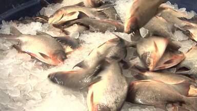 Crescimento da piscicultura é destaque em seminário promovido em Santa Inês - Crescimento da piscicultura no Maranhão e novas técnicas na produção de peixes em cativeiros foram discutidos durante um seminário na cidade de Santa Inês.