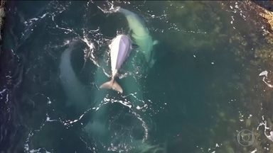 Autoridades russas libertam dezenas de baleias capturadas ilegalmente - Houve pressão internacional para libertar as baleias belugas que seriam vendidas para parques marinhos da China.