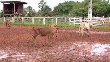 IMA vacina gado contra febre aftosa em Uberlândia - Segunda etapa da imunização começou no início de novembro.