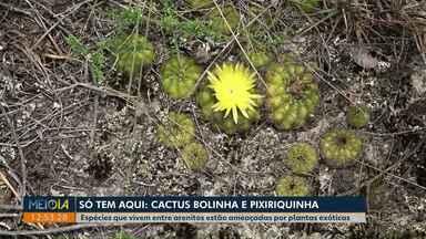Cactus Bolinha e Pixiriquinha: conheça as plantas que só existem nos Campos Gerais - Espécies que vivem entre arenitos estão ameaçadas por plantas exóticas.