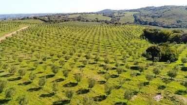 Produção de azeitonas é a aposta de produtores rurais na região - Nós fomos até Canguçu, no interior, para mostrar uma cultura que tem dado certo.