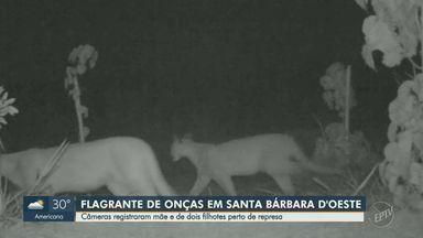 Imagens mostram onças pardas em mata ciliar de represa de Santa Bárbara d'Oeste - Felina e dois filhotes foram flagrados pela filmagem.