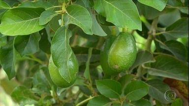 Abacate é aposta de produtores do Vale do Rio São Francisco - Segundo eles, o consumo da fruta tem aumentado na Europa.
