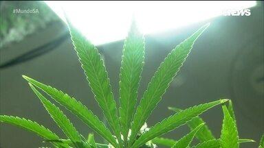 Os milionários negócios ligados à cannabis