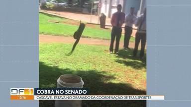 Cascavel foi encontrada no estacionamento do Senado - A cobra estava no gramado da coordenação de transportes. Ela foi resgatada pela Polícia Militar Ambiental.