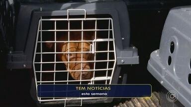 Cães resgatados em situação de maus-tratos eram de empresária de Itu - Os 33 cães da raça pit bull resgatados em situação de maus-tratos em Itu (SP), nesta semana, eram de uma empresária da cidade.