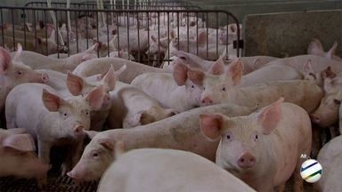 Receita de carne suína é boa pedida para ceia de Ano Novo - MS Rural mostra passo a passo de iguaria de dar água na boca