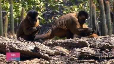 Carol e Jimmy fazem observação dos macacos prego na Serra da Capivara - Animais são muito inteligentes e utilizam ferramentas para auxiliar na alimentação