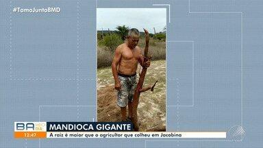 Mandioca gigante é colhida por família de agricultores de Jacobina - Um vídeo mostra que a raiz é maior que o tamanho do agricultor que a colheu, no norte da Bahia.