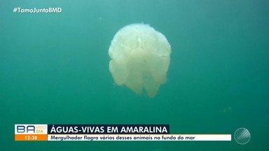 Mergulhador registra água-viva na praia de Amaralina, em Salvador - No verão, costuma aumentar o número de casos de queimaduras causadas pelas caravelas.