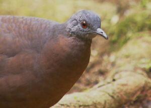 Aves fantasma - Raramente registradas, aves se mostram para as câmeras em Salesópolis (SP).