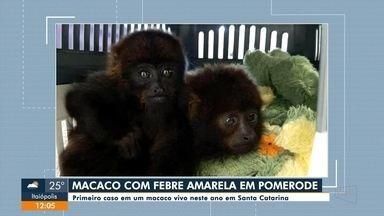 Encontrado em Pomerode primeiro macaco vivo com febre amarela neste ano em SC - Encontrado em Pomerode primeiro macaco vivo com febre amarela neste ano em SC